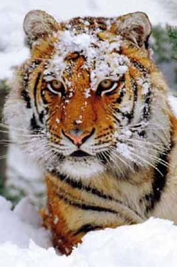 Va de cine: El tigre y la nieve (de primavera)
